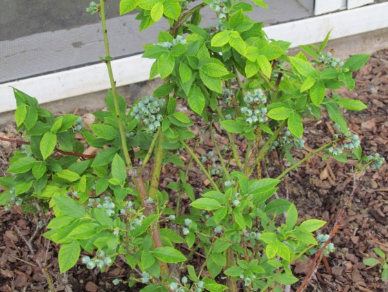 How to Transplant Blueberries