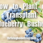 How to Transplant (or Plant) Blueberries