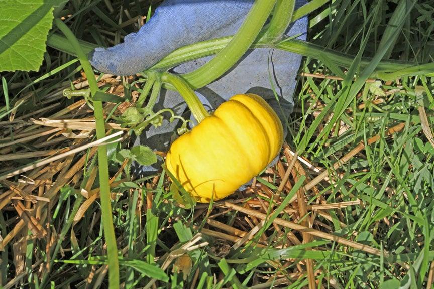 jack-be-little minature pumpkin