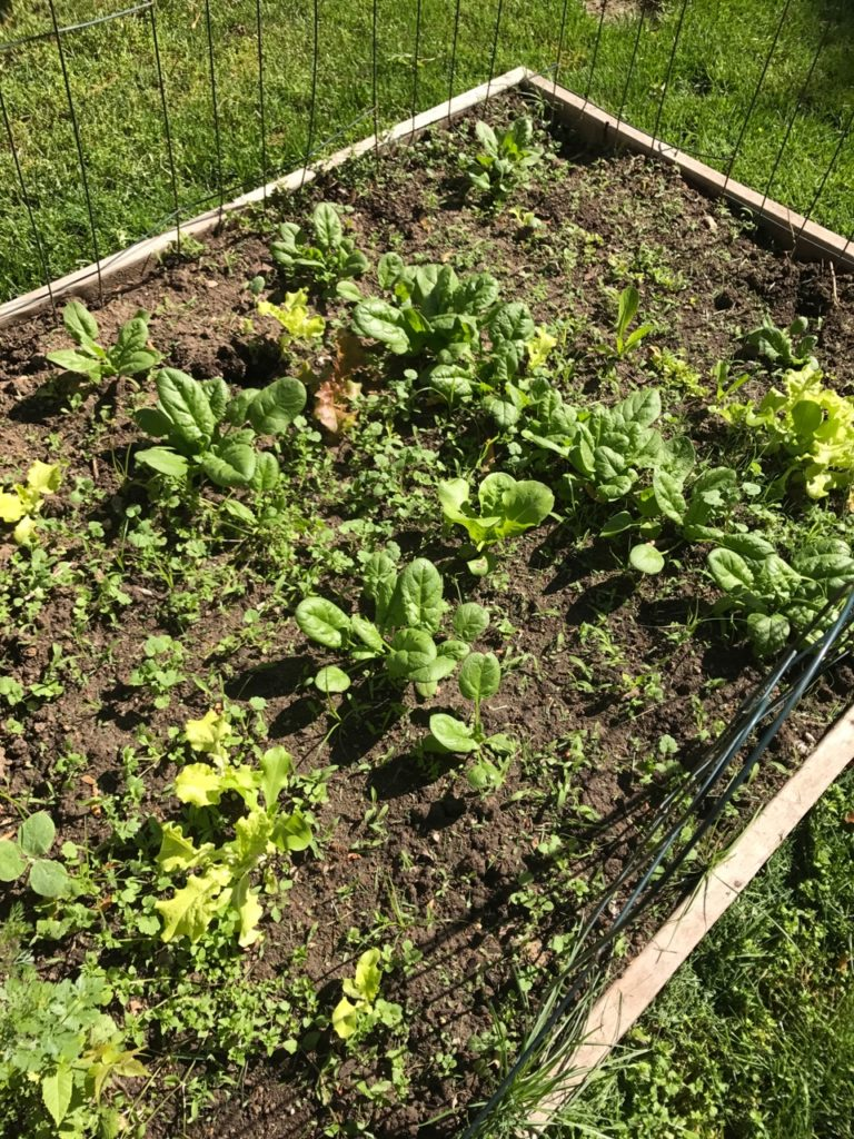 Spinach growing in a garden